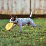 Frisbee - psí sport