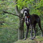 Great Dane - německá doga