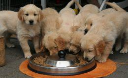 Krmivo pro psy - granule nebo vařené