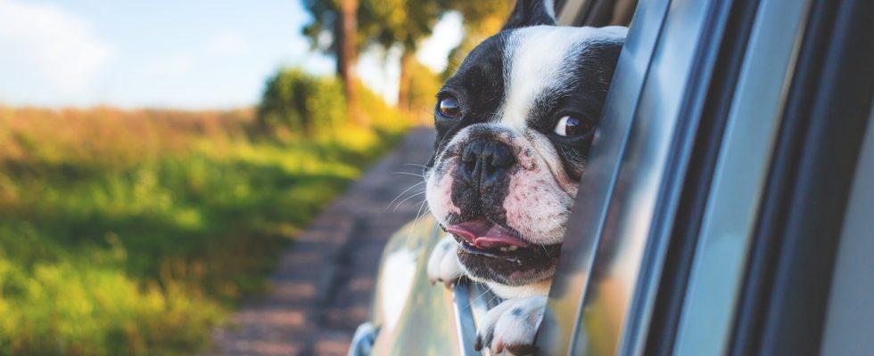 Jak dostat psa do auta